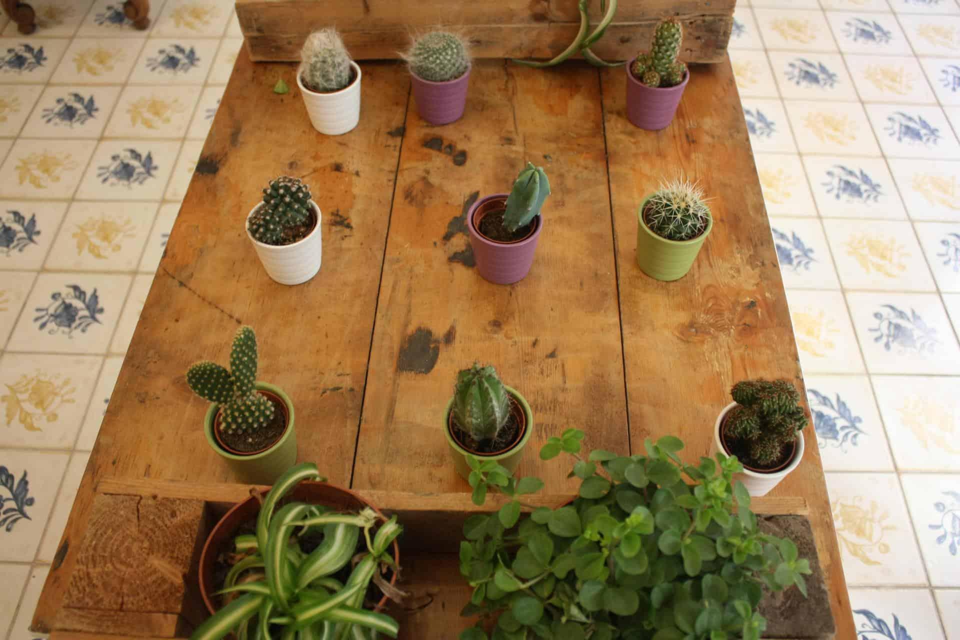 coco cactuses