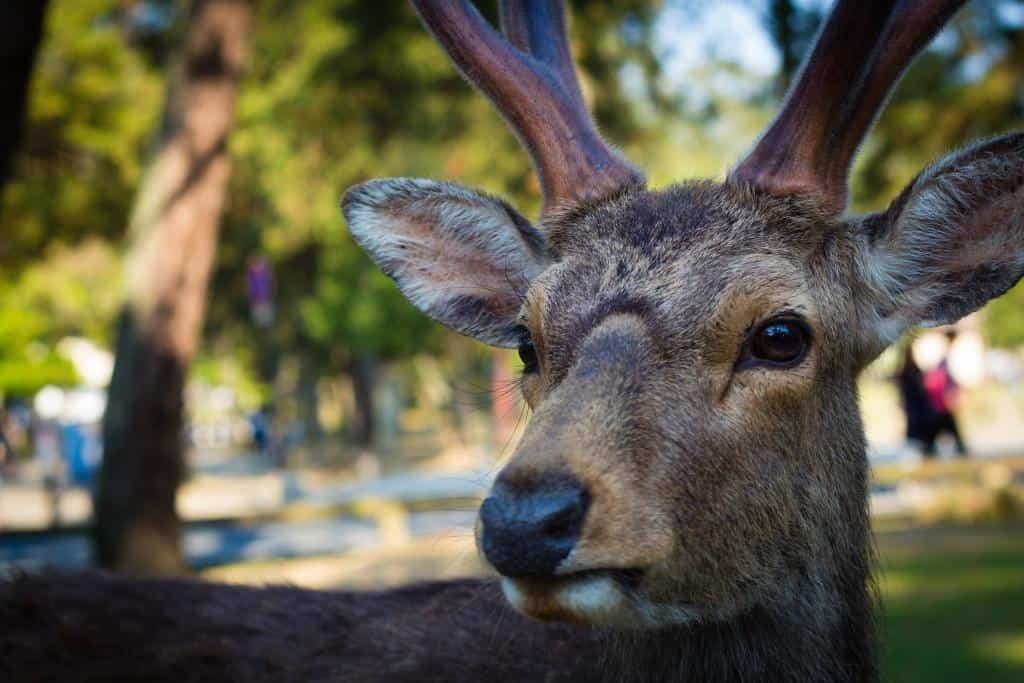 Nara Park, Japan (photo by The Caffeinated Vegan)