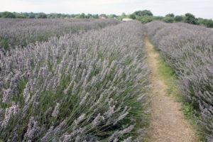 London's lesser known sights: Mayfield Lavender Farms